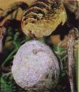 Kurt Orumcegi'nin yumurta kozasi